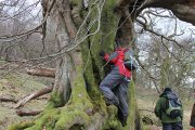 giant beech tree